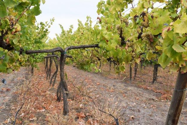 Double-trellised Semillon grapes on the vine. Innovation and experimentation are important to health vineyard maintenance.