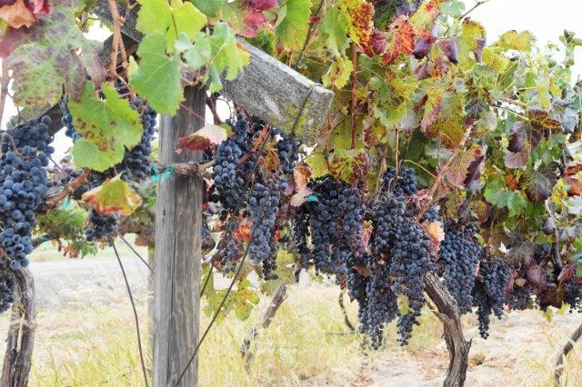 Grapes on the vine, at Domanico Cellars.