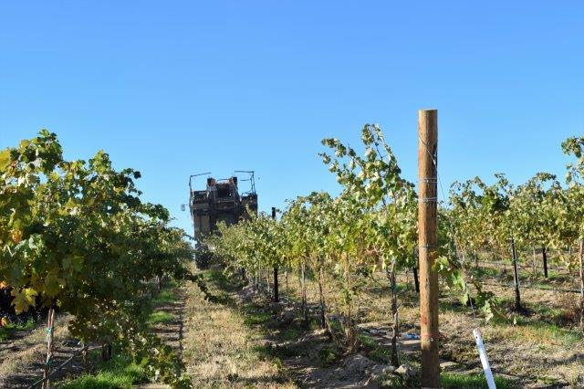 Machine pickers drive over rows of grapes.