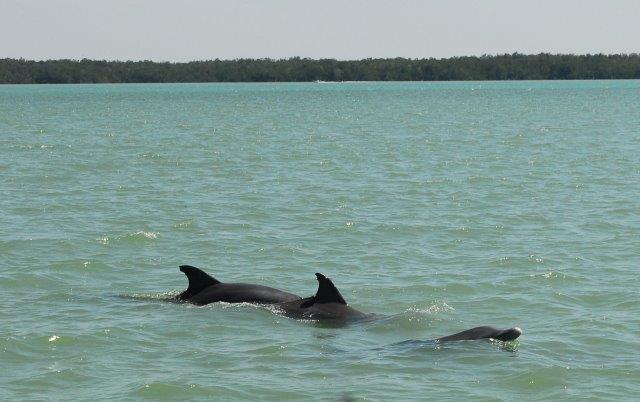 dolphins Chokoloskee Bay