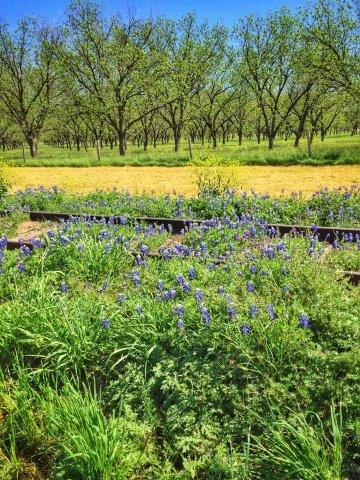 Pecan trees and blue bonnets in in Texas Hill Country AVA.