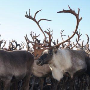 living with sami reindeer herders