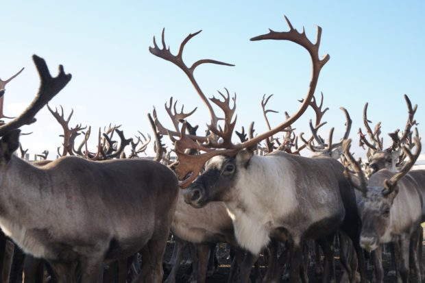 living with sami reindeer herders