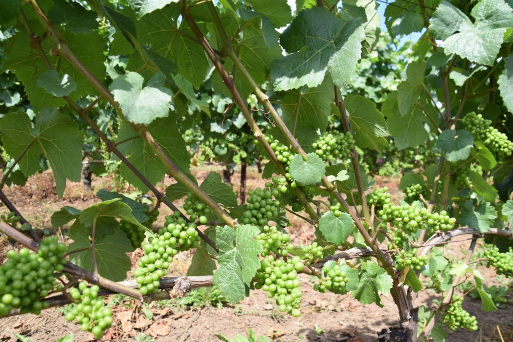 drink pink wine vines