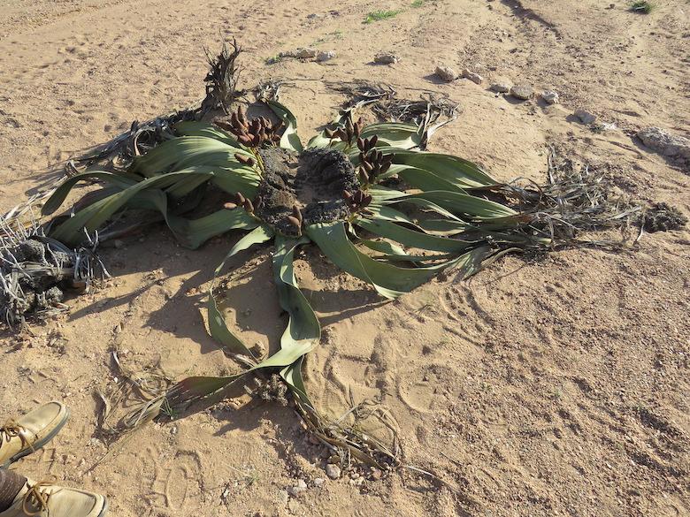 A Welwitschia plant