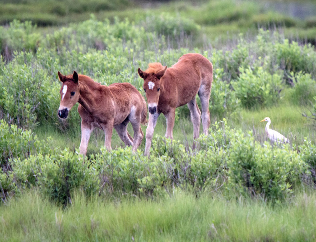 The ponies of Chincoteague (Photo by Adrianne Brockman)