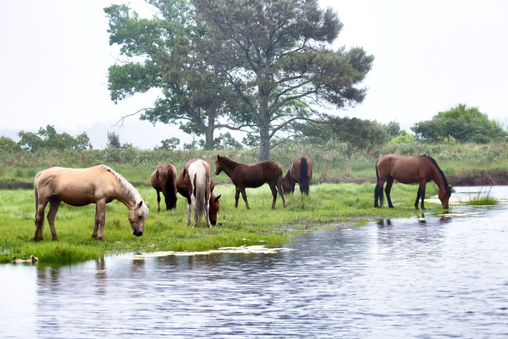ponies of Chincoteague