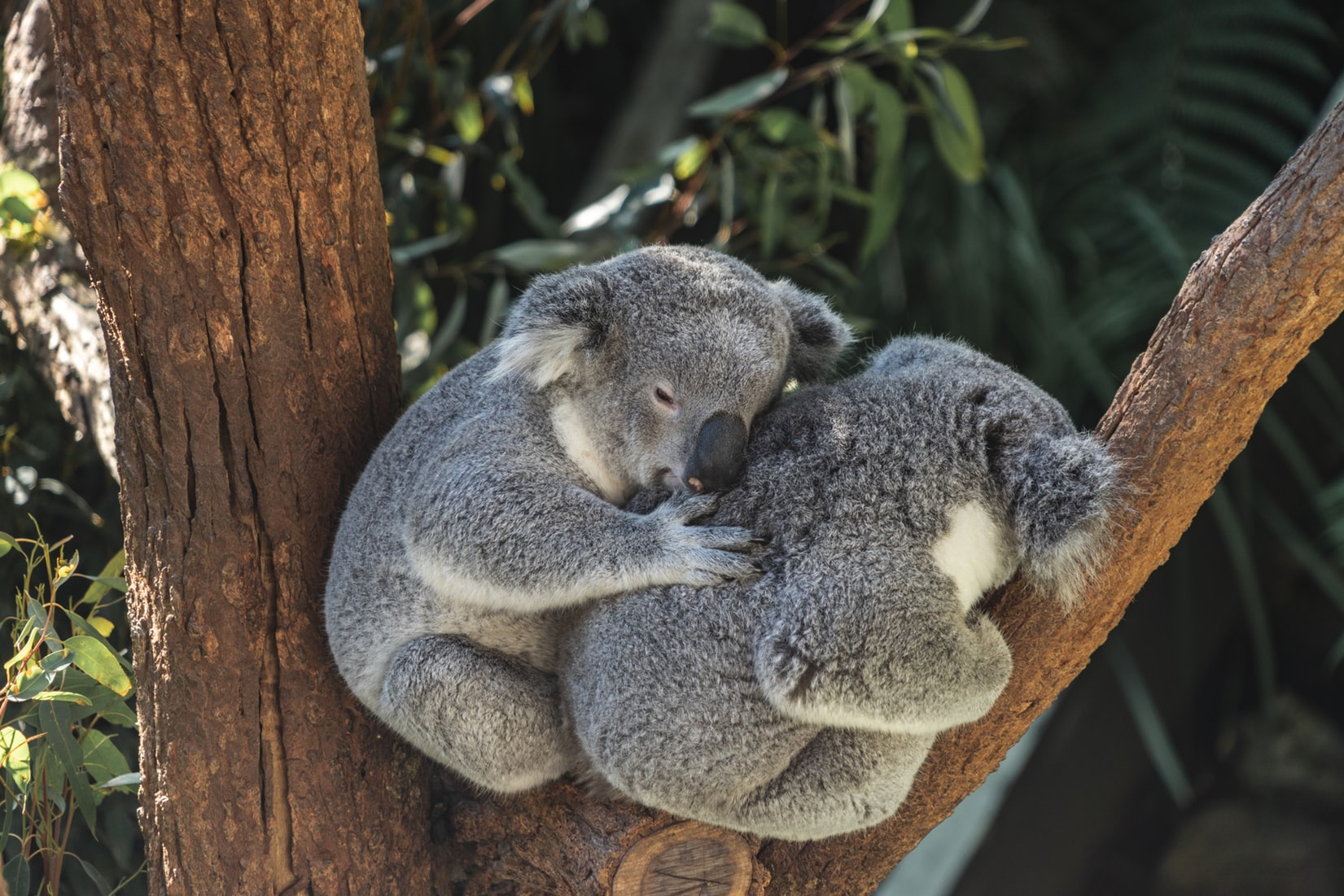 visiting brisbane koalas
