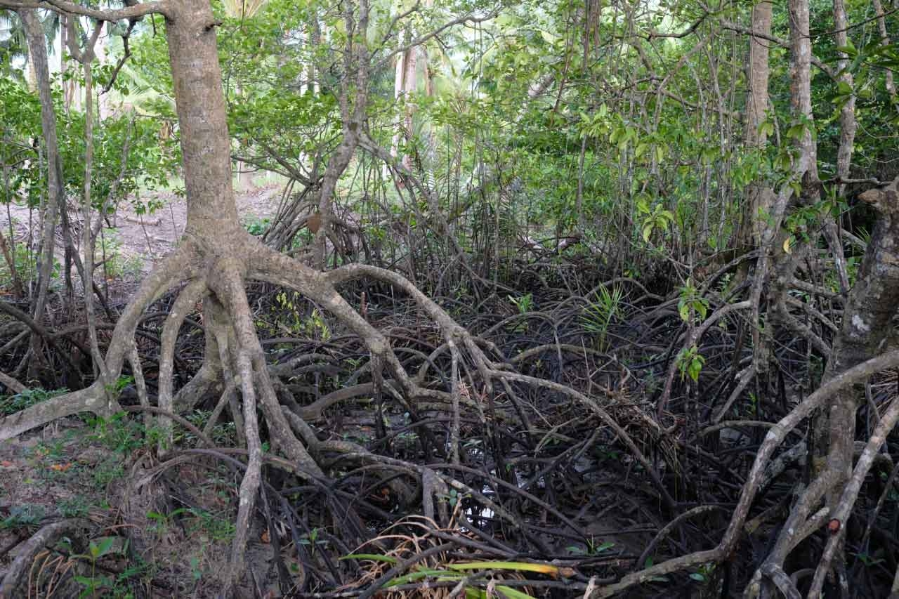Mangroves when traveling in the Philippines