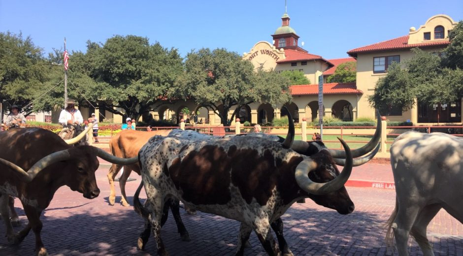 Calgary and Fort Worth long horn cattle